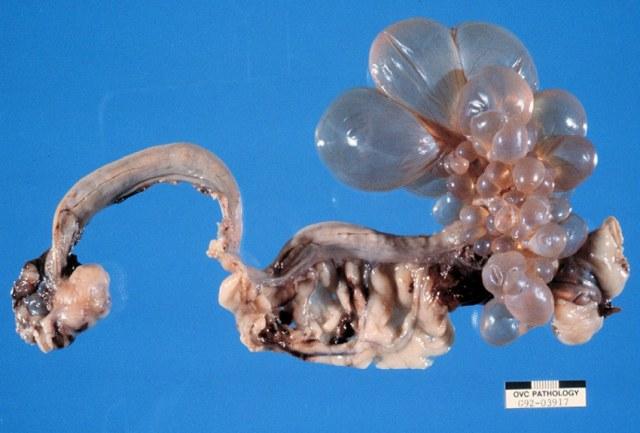 Reproductive pathology - female dog