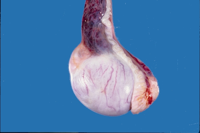 Normal genitalia of male dog